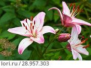 Купить «Beautiful fragrant pink lily of an Asian hybrid on a flowerbed against a background of green foliage in summer», фото № 28957303, снято 28 июля 2018 г. (c) Виктория Катьянова / Фотобанк Лори