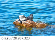 Купить «Lake Baikal. Two wild Baikal seals are basking in the sun and stretching on a stone among the blue waters near the Ushkany Island on a sunny summer day», фото № 28957323, снято 18 августа 2011 г. (c) Виктория Катьянова / Фотобанк Лори