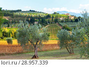 Italy. A typical rural landscape with olive trees, vineyards on the slopes of hills and farmhouses with cypress trees in the autumn afternoon (2013 год). Стоковое фото, фотограф Виктория Катьянова / Фотобанк Лори