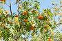 Купить «Ветви с гроздьями спелой рябины в солнечный день летом», фото № 28961595, снято 11 августа 2018 г. (c) Екатерина Овсянникова / Фотобанк Лори