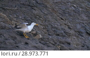 Купить «Seagull eats and taking off», видеоролик № 28973771, снято 10 августа 2018 г. (c) Илья Шаматура / Фотобанк Лори