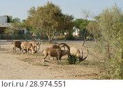 Купить «Herd of Nubian ibex (Capra nubiana) in Sde Boker», фото № 28974551, снято 30 июля 2018 г. (c) Валерия Попова / Фотобанк Лори