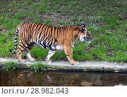 Купить «The tiger going», фото № 28982043, снято 23 сентября 2014 г. (c) Куликов Константин / Фотобанк Лори