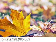 Купить «Autumn orange fallen maple leaf lying on the ground», фото № 28985059, снято 8 октября 2017 г. (c) Георгий Дзюра / Фотобанк Лори