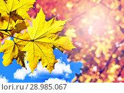 Купить «Yellow autumn maple leaf on the tree branch. Bottom view», фото № 28985067, снято 8 октября 2017 г. (c) Георгий Дзюра / Фотобанк Лори