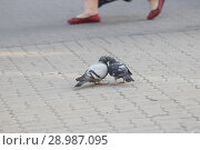 Купить «Grey pigeons kissing on the asphalt in the square», фото № 28987095, снято 17 августа 2018 г. (c) Константин Шишкин / Фотобанк Лори