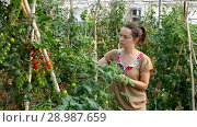 Купить «Serious woman gardener attentively looking tomatoes seedlings in greenhouse», видеоролик № 28987659, снято 23 июля 2018 г. (c) Яков Филимонов / Фотобанк Лори