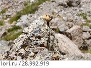 Купить «Тибет. Байбак, или Бабак, или обыкновенный (степной) сурок (лат. Marmota bobak) на высоте около 5000 метров над уровнем моря выглядывает из-за большого камня у подножия горы Кайлас (Кайлаш)», фото № 28992919, снято 18 июня 2018 г. (c) Овчинникова Ирина / Фотобанк Лори