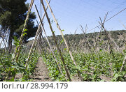 Купить «Rows of runner beans with supporting canes and protective ceiling netting, Granada, Spain.», фото № 28994179, снято 8 июля 2018 г. (c) easy Fotostock / Фотобанк Лори
