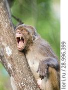 Купить «Asia, India, Uttarakhand, Jim Corbett National Park, Rhesus macaque (Macaca mulatta), adult resting in a tree.», фото № 28996399, снято 13 мая 2017 г. (c) age Fotostock / Фотобанк Лори