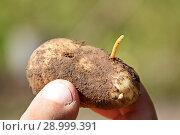 Купить «Проволочник - личинка жука-щелкуна на картофеле», фото № 28999391, снято 26 августа 2018 г. (c) Наталия Кузнецова / Фотобанк Лори