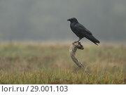 Купить «Common Raven / Kolkrabe (Corvus corax) perches on a wooden stick above autumnal colored open grassland, hazy morning..», фото № 29001103, снято 6 октября 2015 г. (c) age Fotostock / Фотобанк Лори