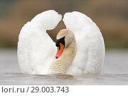 Купить «Mute Swan (Cygnus olor) adult male, swimming in aggressive posture, Suffolk, England, April», фото № 29003743, снято 27 мая 2020 г. (c) age Fotostock / Фотобанк Лори