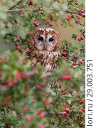 Купить «Tawny Owl (Strix aluco) adult, perched in Common Hawthorn (Crataegus oxyacantha) with berries, Suffolk, England, September, controlled subject», фото № 29003751, снято 25 ноября 2018 г. (c) age Fotostock / Фотобанк Лори