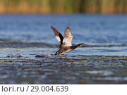 Купить «Red-Necked Grebe (Podiceps grisegena) adult, breeding plumage, running across water to take flight, Danube Delta, Romania, June», фото № 29004639, снято 19 января 2020 г. (c) age Fotostock / Фотобанк Лори