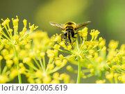 Купить «Пчела собирает нектар на жёлтых цветках», эксклюзивное фото № 29005619, снято 9 июля 2018 г. (c) Игорь Низов / Фотобанк Лори