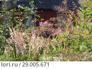 Купить «Campanula (Campanula versicolor) in flower», фото № 29005671, снято 23 августа 2018 г. (c) Марина Володько / Фотобанк Лори