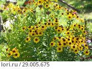 Купить «Black-eyed Susan (Rudbeckia hirta)», фото № 29005675, снято 23 августа 2018 г. (c) Марина Володько / Фотобанк Лори