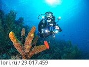 Купить «Diver and Aplysina fistularis los roques - venezuela», фото № 29017459, снято 2 марта 2017 г. (c) age Fotostock / Фотобанк Лори