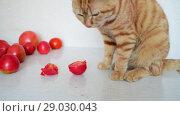 Купить «Cat is eating ripe tomatoes», видеоролик № 29030043, снято 10 августа 2018 г. (c) Володина Ольга / Фотобанк Лори