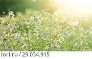 Купить «Many field chamomiles In rays of setting sun», видеоролик № 29034915, снято 25 июня 2018 г. (c) Володина Ольга / Фотобанк Лори