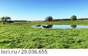 Купить «Cow grazing on a meadow at the summer», видеоролик № 29036655, снято 6 июня 2020 г. (c) Антон Гвоздиков / Фотобанк Лори