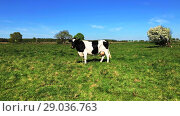 Купить «Cow grazing on a meadow at the summer», видеоролик № 29036763, снято 6 июня 2020 г. (c) Антон Гвоздиков / Фотобанк Лори