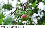 Купить «Apple tree with apples is wet from the rain», видеоролик № 29038415, снято 6 августа 2018 г. (c) Володина Ольга / Фотобанк Лори