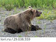 Купить «Бурый медведь лежит на камнях», фото № 29038559, снято 30 июля 2018 г. (c) А. А. Пирагис / Фотобанк Лори