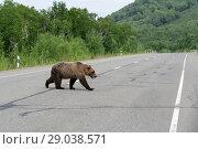 Купить «Медведь переходит дорогу», фото № 29038571, снято 30 июля 2018 г. (c) А. А. Пирагис / Фотобанк Лори