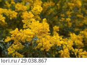 Купить «acacia howittii flowers», фото № 29038867, снято 21 октября 2018 г. (c) Яков Филимонов / Фотобанк Лори
