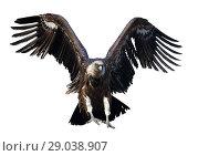 Купить «Griffon vulture in flight», фото № 29038907, снято 21 октября 2018 г. (c) Яков Филимонов / Фотобанк Лори