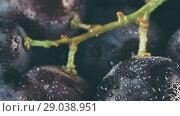 Купить «dark grape with water drops close up», фото № 29038951, снято 24 августа 2018 г. (c) Ольга Сергеева / Фотобанк Лори
