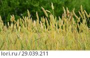 Купить «yellow wheat in the field, fragment», видеоролик № 29039211, снято 4 июля 2018 г. (c) Володина Ольга / Фотобанк Лори