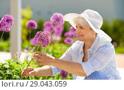 Купить «senior woman with allium flowers at summer garden», фото № 29043059, снято 3 июня 2018 г. (c) Syda Productions / Фотобанк Лори
