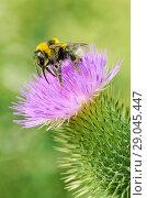 Купить «A bumblebee collects nectar from a flower», фото № 29045447, снято 23 июля 2018 г. (c) Александр Клопков / Фотобанк Лори