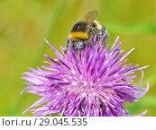 Купить «A bumblebee collects nectar from a flower», фото № 29045535, снято 16 июля 2018 г. (c) Александр Клопков / Фотобанк Лори