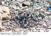 Купить «Каспийский полоз, или желтобрюхий полоз ( Dolichophis caspius) — крупная змея из семейства ужеобразных», фото № 29051167, снято 13 апреля 2017 г. (c) Олег Хархан / Фотобанк Лори