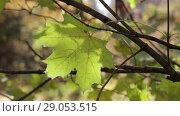 Купить «Большой желтый кленовый лист на ветке качается по ветру», видеоролик № 29053515, снято 16 октября 2017 г. (c) Круглов Олег / Фотобанк Лори