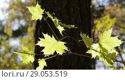 Купить «Ветвь ярких осенних желтых кленовых листьев развевается на ветру», видеоролик № 29053519, снято 16 октября 2017 г. (c) Круглов Олег / Фотобанк Лори
