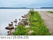 Купить «Утки на Валдае Ducks sit on the shore of the Valdai lake», фото № 29054235, снято 19 августа 2018 г. (c) Baturina Yuliya / Фотобанк Лори