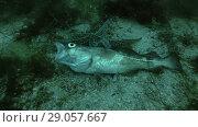 Купить «Spiny Starfish (Marthasterias glacialis) eating dead fish Atlantic cod (Gadus morhua)», видеоролик № 29057667, снято 5 сентября 2018 г. (c) Некрасов Андрей / Фотобанк Лори