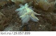 Купить «Spiny Starfish (Marthasterias glacialis) eat ascidian colony Transparent sea squirt or Yellow Sea Squirt (Ciona intestinalis, Ascidia intestinalis) on seabed overgrown with brown algae (Time-lapse)», видеоролик № 29057899, снято 6 сентября 2018 г. (c) Некрасов Андрей / Фотобанк Лори