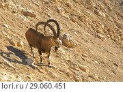 Купить «Nubian ibex (Capra nubiana sinaitica) among rocks in Sde Boker. Old Ibex on rock. Negev desert of southern Israel», фото № 29060451, снято 12 августа 2018 г. (c) Валерия Попова / Фотобанк Лори