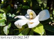 Купить «Цветок магнолии растёт на дереве», эксклюзивное фото № 29062347, снято 3 июня 2018 г. (c) Игорь Низов / Фотобанк Лори
