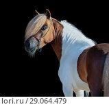 Купить «Портрет пегого жеребца породы Американская миниатюрная лошадь», фото № 29064479, снято 13 июля 2018 г. (c) Абрамова Ксения / Фотобанк Лори