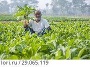 Купить «White radish farmer in the field at Jessore, Bangladesh.», фото № 29065119, снято 17 декабря 2017 г. (c) age Fotostock / Фотобанк Лори