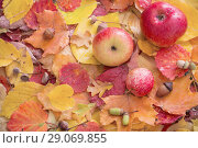Купить «apples and autumn leaves with rain drops», фото № 29069855, снято 2 сентября 2018 г. (c) Майя Крученкова / Фотобанк Лори