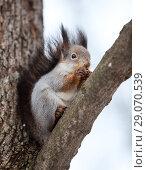 Купить «Белка на ветке дерева», фото № 29070539, снято 9 февраля 2014 г. (c) Кекяляйнен Андрей / Фотобанк Лори