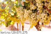 Купить «Ripe bunches of green grapes hanging», фото № 29071275, снято 17 февраля 2020 г. (c) Татьяна Яцевич / Фотобанк Лори